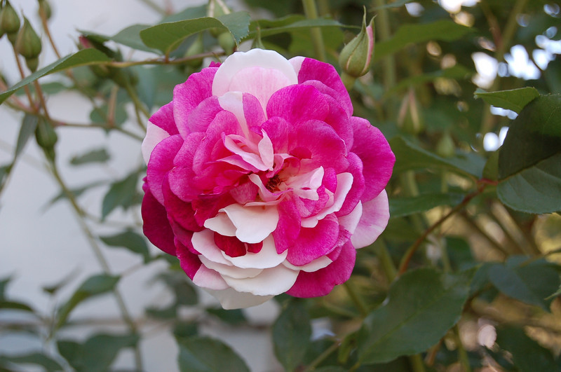 The roses on this bush are all different in coloration, from all white to all dark pink, and every variation and combination in between.