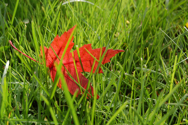 Red Leaf in Grass