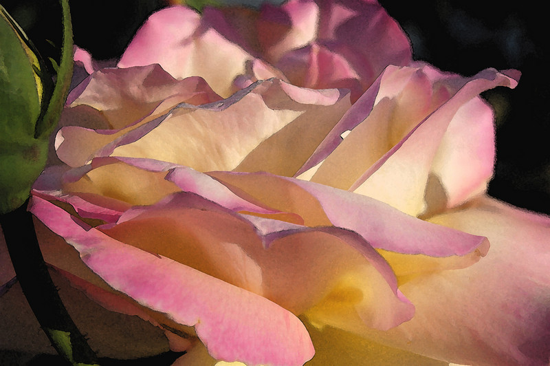 Peace rose in morning, with Watercolor effect applied
