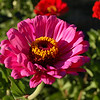 Pink Zinnia Crown, a bee's heavenly saloon. One of my all time fav pictures, because it makes me want to be a bee...every time I see it.