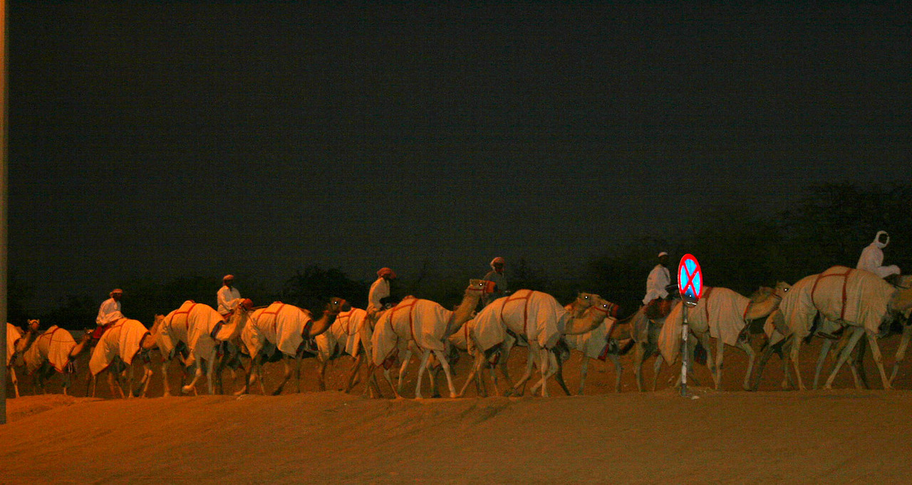 Racing camels walk home from their daily workout