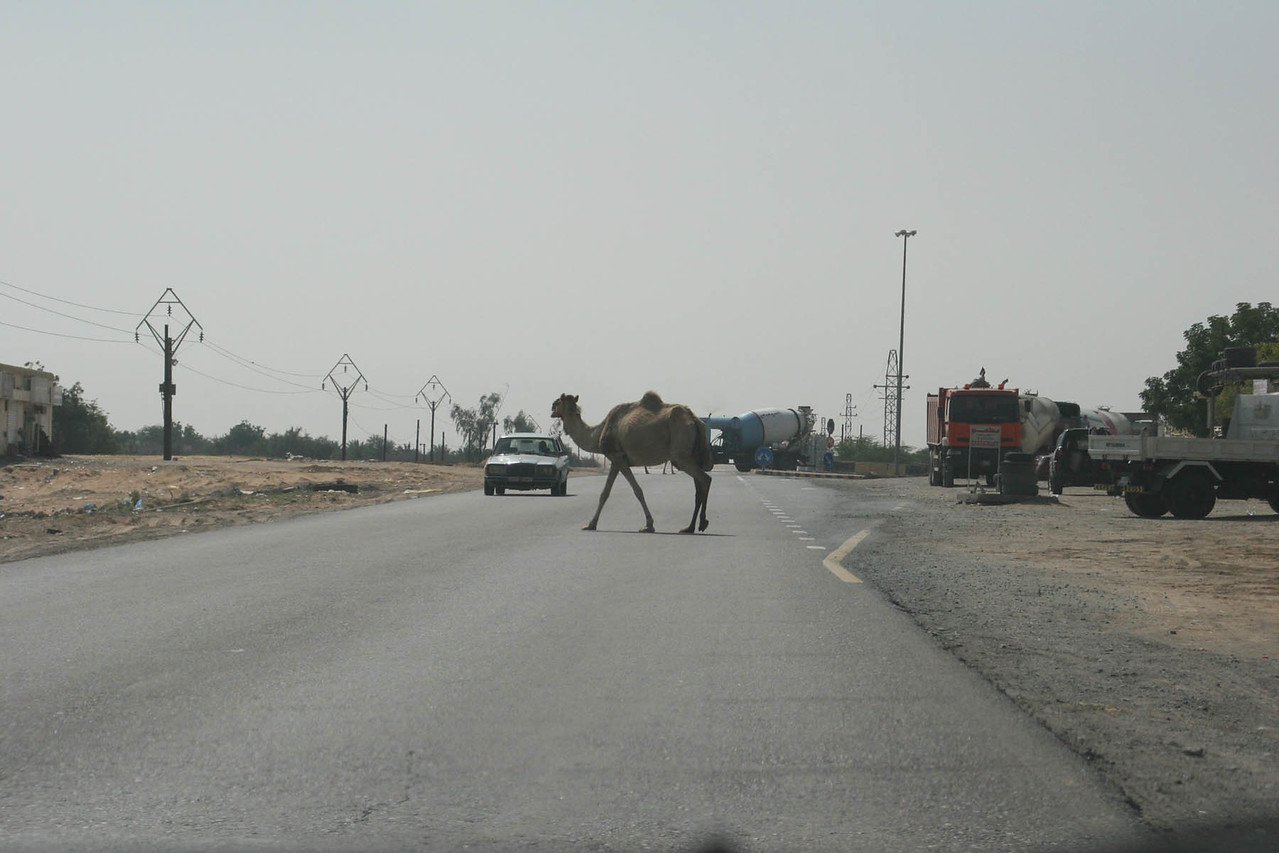 Why did the camel?