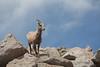 Bighorn Sheep (Ovis canadensis), Colorado