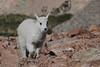 Mountain Goat (Oreamnos americanus) Kid, Mount Evans, Colorado