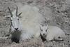 Mountain Goat (Oreamnos americanus), Nanny with Kid,  Mount Evans, Colorado