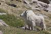 Mountain Goat (Oreamnos americanus), Lip Curl, Mount Evans, Colorado