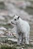 Mountain Goat (Oreamnos americanus), Mount Evans, Colorado