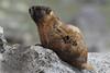 Yellow-bellied marmot (Marmota flaviventris), Mt Evans