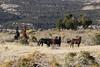 Free-Roaming Horses (Equus caballus), Little Book Cliffs Wild Horse Range, Colorado