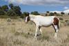 Free-Roaming Horse (Equus caballus), Little Book Cliffs Wild Horse Range, Colorado