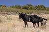 Free-Roaming Horse (Equus caballus), Mare with her Foal; Little Book Cliffs Wild Horse Range, Colorado
