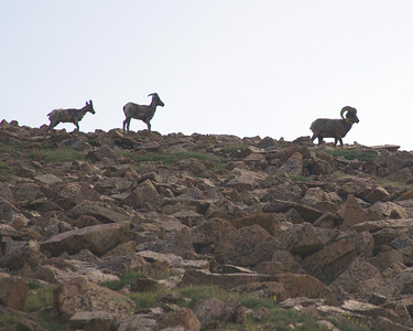 Bighorn sheep near top of Pikes peak
