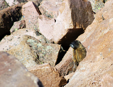 Yellow bellied marmot on Pikes Peak
