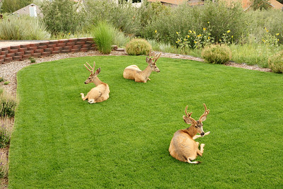 Deer on Lawn - 16 Aug 10