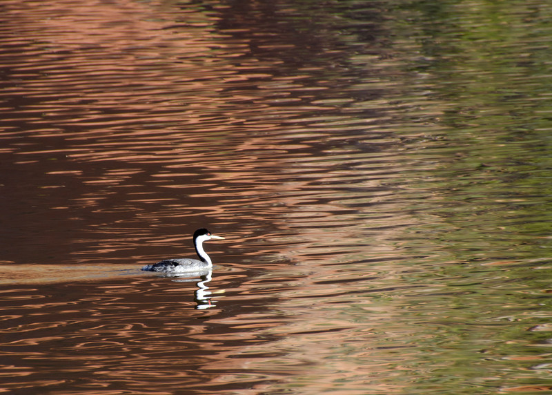 Western Grebe, there were 20 of these working the cove we were camped by.
