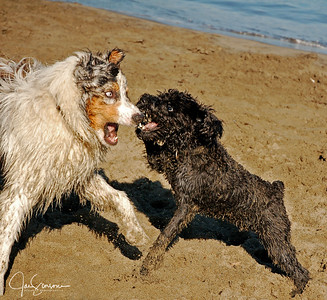 Note that these dogs were not fighting. They were romping and playing on the beach. No animals were hurt in this picture!