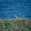 Black-bellied Plover, Colville River Delta, north slope Alaska, summer 1987