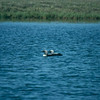 Pacific Loons, Colville River Delta, north slope Alaska, summer 1987