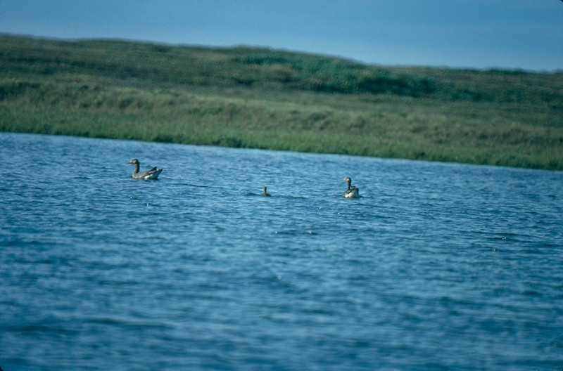 Greater White-fronted Geese, Colville River Delta, north slope Alaska, summer 1987