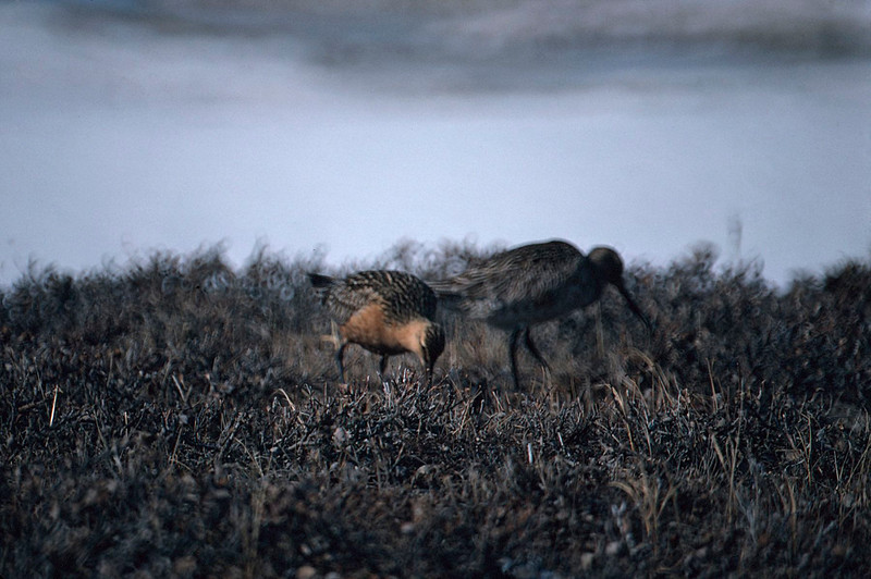Bar-tailed Godwits, Colville River Delta, north slope Alaska, summer 1987