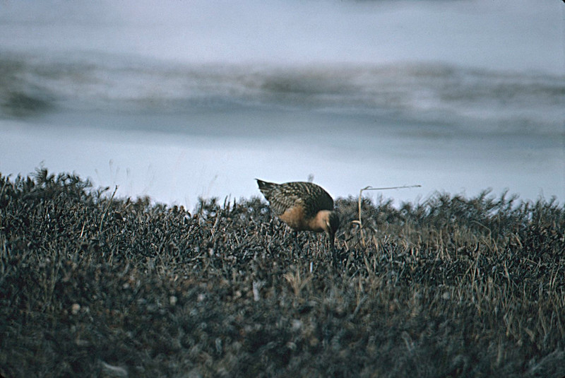 Bar-tailed Godwit, Colville River Delta, north slope Alaska, summer 1987