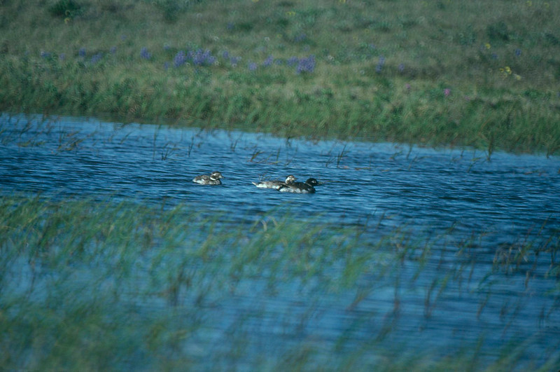 Long-tailed Ducks, Colville River Delta, north slope Alaska, summer 1987