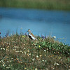Dunlin, Colville River Delta, north slope Alaska, summer 1987