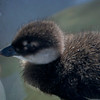 Long-tailed Duckling, Colville River Delta, north slope Alaska, summer 1987