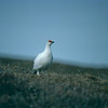 Rock Ptarmigan, Colville River Delta, north slope Alaska, summer 1987