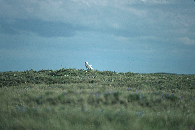 Snowy Owl, Colville River Delta, north slope Alaska, summer 1987
