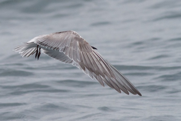 Common Tern Event 1