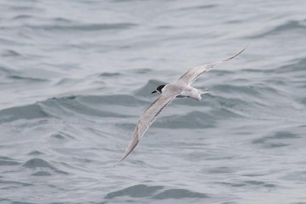 Common Tern Event 1