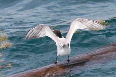Common Tern Event 3