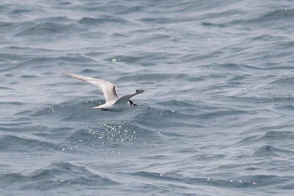 Common Tern Event 2
