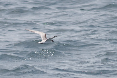 Common Tern Event 2