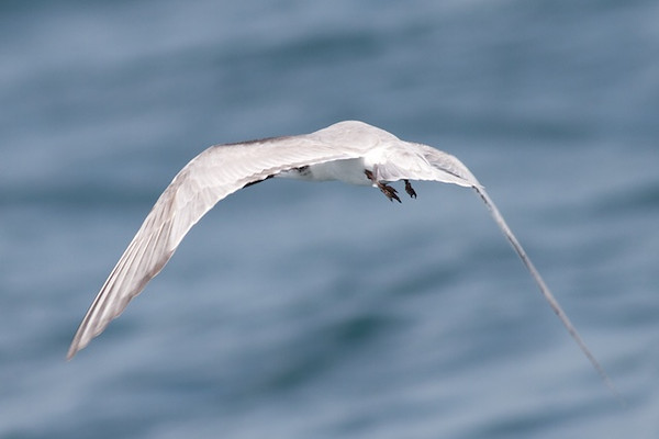 Common Tern Event 3