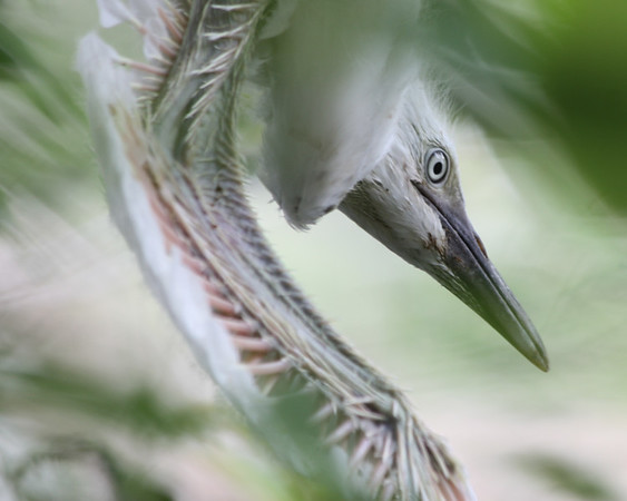 """"""" Acrobat Bird """" , accepted OC Fair 2012"""