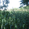 corn fields,  we're not in Kansas Dorothy... are  we?