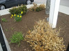 Photo taken 5 May 2014. Photo taken 5 May 2014. These dead/dying boxwood were removed this spring. Donated daylilies have been planted in this location and are doing well. They should spread in the years ahead.