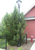 This evergreen needs pruning as it has encroached upon the light pole. Aaron would undertake this.