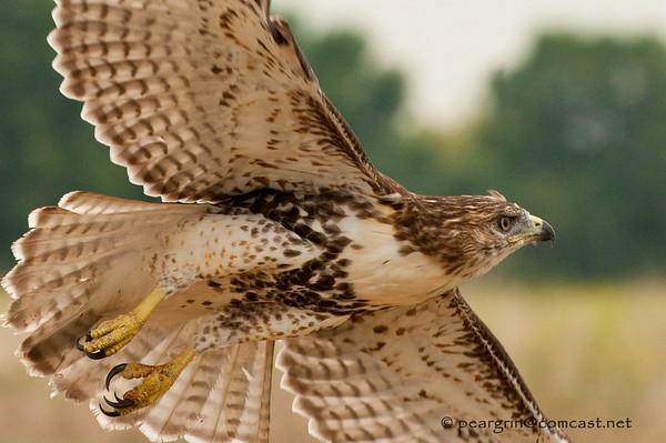 Juvenile Redtail Hawk