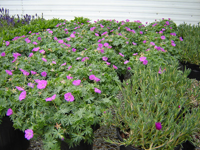 Geranium 'New Hampshire Purple'   Exposure: Sun; Bloom Color: Pink - Purple; Bloom Time: Summer; Mature Height: 8-10""