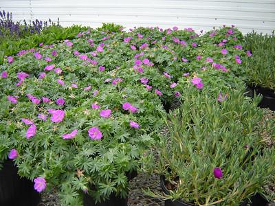 "Geranium 'New Hampshire Purple'   Exposure: Sun; Bloom Color: Pink - Purple; Bloom Time: Summer; Mature Height: 8-10"""