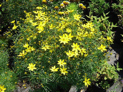 """Coreopsis 'Zagreb'   Exposure: Sun; Bloom Color: Golden; Bloom Time: Summer - Fall; Mature Height: 15-18"""""""