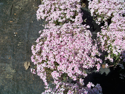 Phlox 'Candy Stripe'   Exposure: Sun; Bloom Color: Pink & White; Bloom Time: Spring; Mature Height: 4-6""