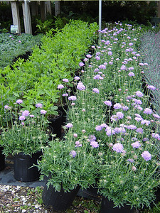 """Scabiosa 'Butterfly Blue'   Exposure: Sun; Bloom Color: Lavender - Blue; Bloom Time: Spring - Fall; Mature Height: 18"""""""