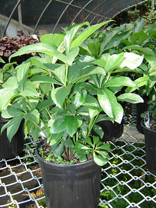 Helleborus 'Double Queens Mix'  Exposure: Shade; Bloom Color: Mixed; Bloom Time: Late Winter - Early Spring; Height: 18""