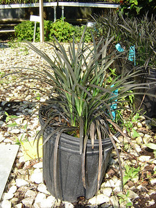 Ophiopogon nigrescens  Exposure: Part Shade; Bloom Color: Lavender - White; Bloom Time: Late Srping - Early Summer; Mature Height: 6-12""