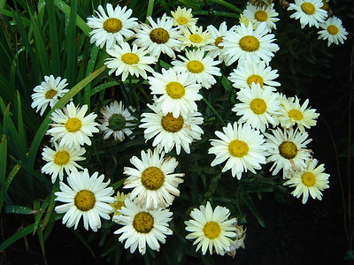 """Leucanthemum 'Banana Cream'   Exposure: Sun; Bloom Color: Yellow - White; Bloom Time: Late Spring - Early Summer: Mature Height: 15-18"""""""