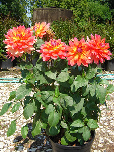Dahlia 'Fire Pot'   Exposure: Sun; Bloom Color: Orange, Red, Yellow; Bloom Time: Summer - Fall; Mature Height: 18-24""